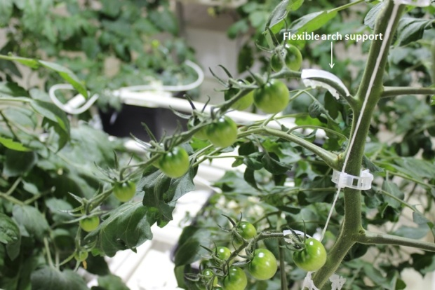 Flexible arch support on tomatoes
