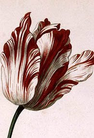 Viceroy tulip