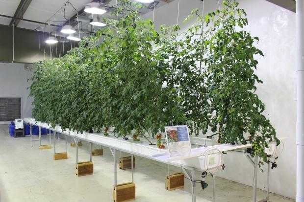 Tomato Growing in GT80 Channels