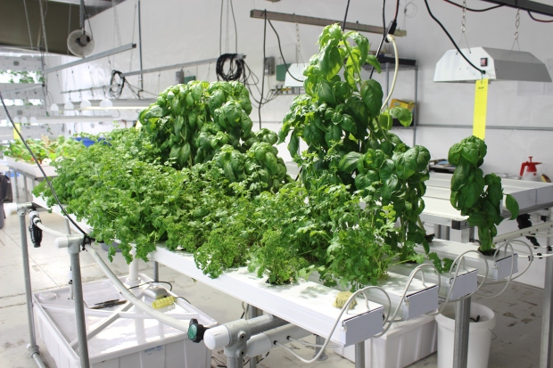 Fresh Herbs in GT50 System