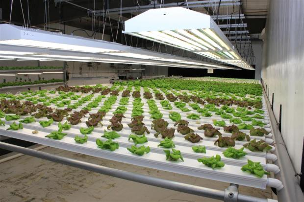 Grow Room 1 - Lettuce
