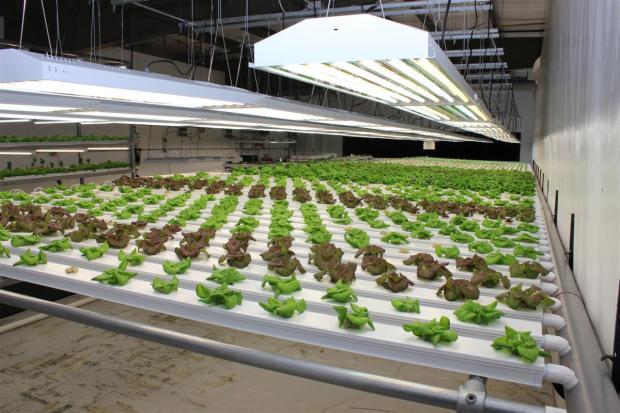 Grow Room 1 - Lettuce