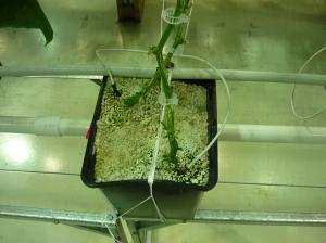 2 plants per bucket