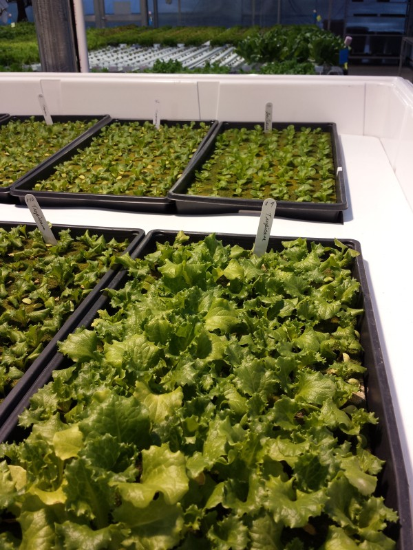 Propagating lettuce