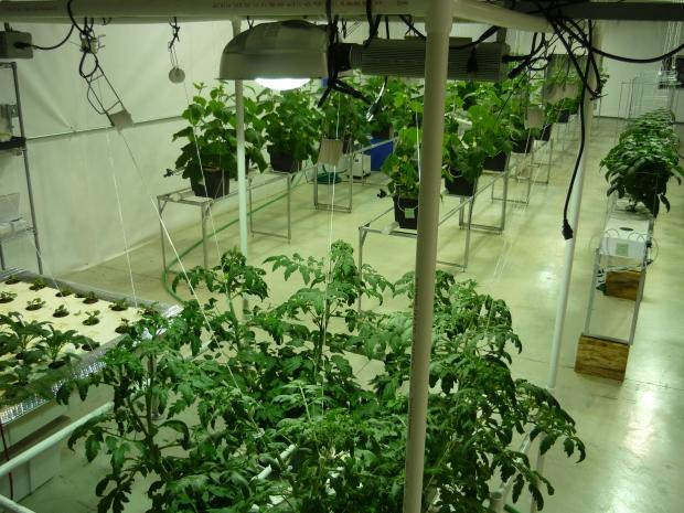 Lighting for Marnero Tomatoes