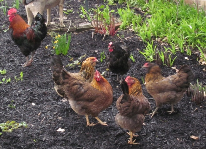 Chickens in garden