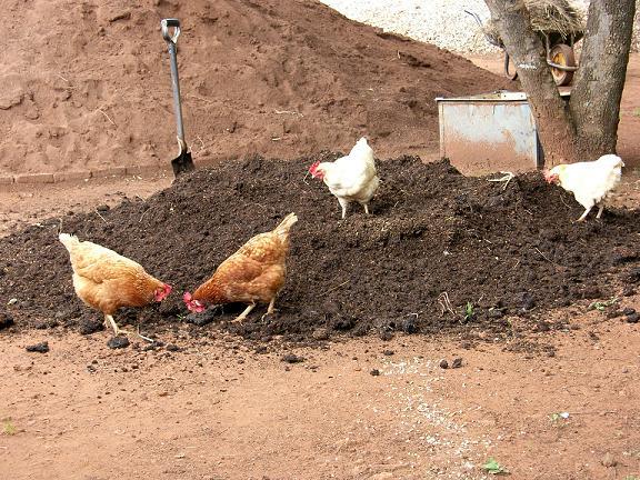 Garden Benefits Of Backyard Chickens Growers Supply