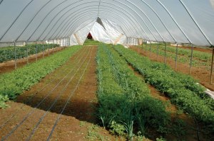 High Tunnel Crop Production