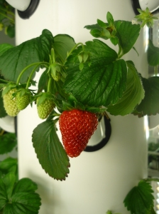 Albion Strawberry in Aeroponic system