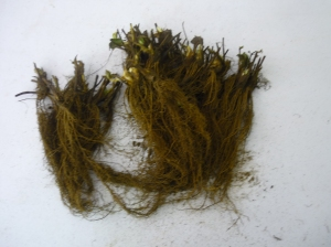 Uncleaned roots