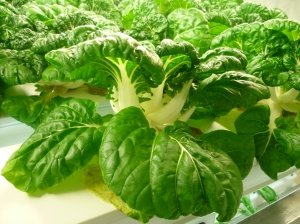 Pac Choi production
