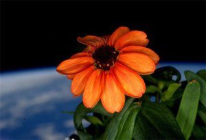 zinnia-space-flower